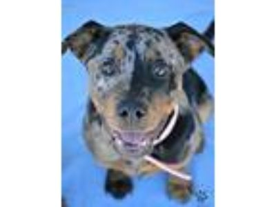Adopt Violet a Merle Catahoula Leopard Dog / Mixed dog in Anza, CA (25511636)
