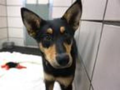 Adopt TEDDY a Black - with Tan, Yellow or Fawn German Shepherd Dog / Mixed dog