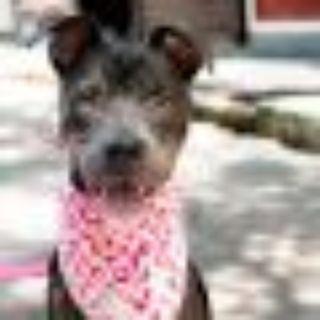 Norah Jones Pit Bull Terrier Dog