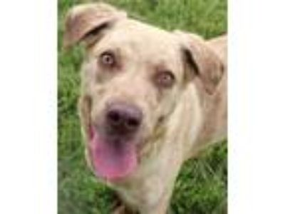 Adopt Thelma a Brown/Chocolate Retriever (Unknown Type) / Mixed dog in Victoria