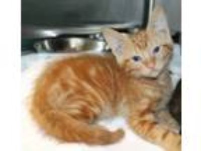 Adopt Puma a Domestic Short Hair
