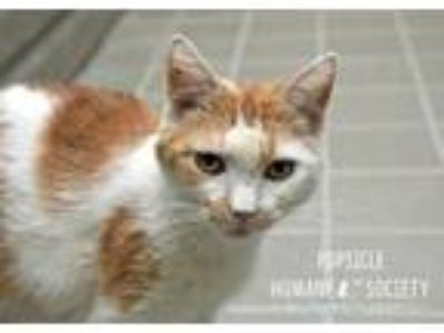 Adopt Popsicle a Domestic Short Hair