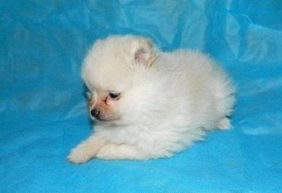 unparalleled Pomeranian puppies ready