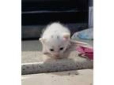 Adopt Buffy a White Domestic Shorthair / Domestic Shorthair / Mixed cat in Belle