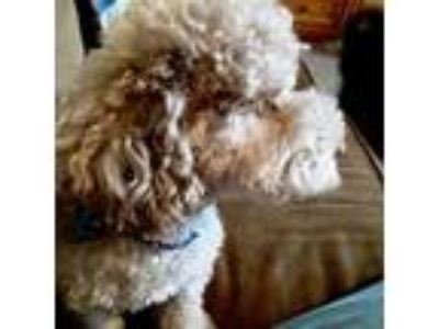 Adopt Gus a Poodle