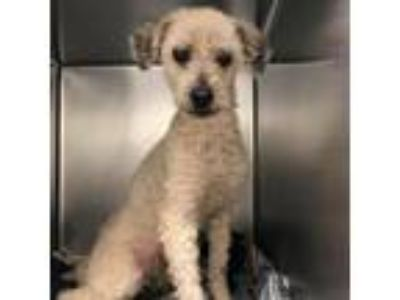 Adopt Babie Boy a Tan/Yellow/Fawn Poodle (Miniature) dog in Northbrook