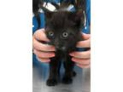 Adopt Miney a All Black Domestic Shorthair / Domestic Shorthair / Mixed cat in