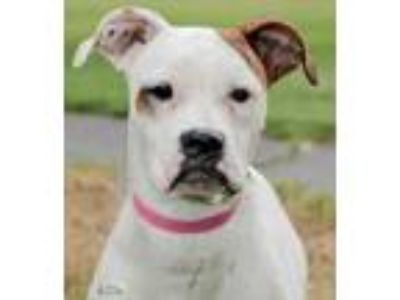 Adopt Delilah a White Boxer / Mixed dog in Bellevue, WA (25583589)
