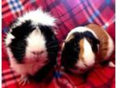 Adopt Charles a Red Guinea Pig / Guinea Pig / Mixed small animal in Edmond