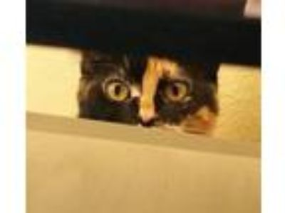 Adopt Sunshine a Calico or Dilute Calico Calico / Mixed cat in Garden Grove