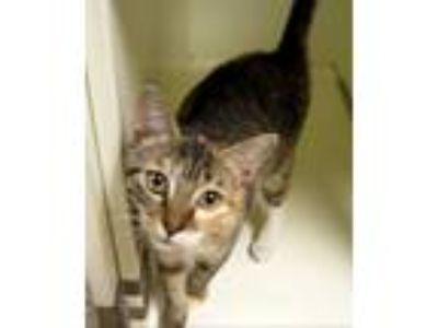 Adopt Jenny a Calico or Dilute Calico Calico (short coat) cat in Georgetown