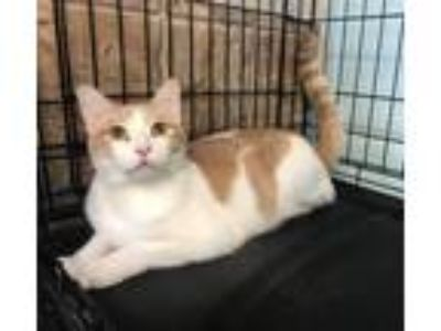 Adopt Ginger Kitty a Domestic Short Hair