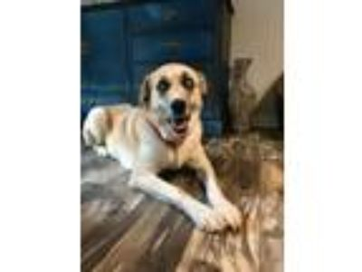 Adopt Juno a Great Pyrenees