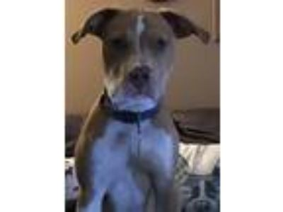 Adopt Chance a Tan/Yellow/Fawn - with White Pit Bull Terrier / Mixed dog in