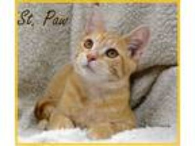 Adopt St. Paw a Domestic Shorthair / Mixed cat in Conway, AR (24291856)