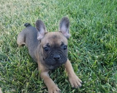 French Bulldog PUPPY FOR SALE ADN-99818 - AKC French Bulldog Boy