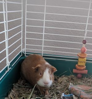 Baby guinea pig & accessories