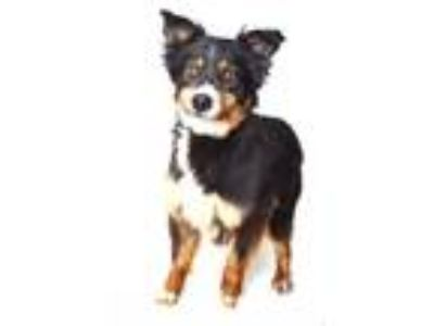 Adopt TOBIN a Black Australian Shepherd / Mixed dog in Fruit Heights