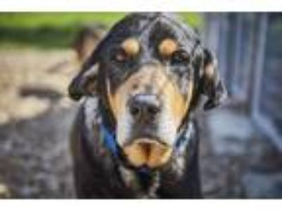 Adopt Henry a Black - with Tan, Yellow or Fawn Rottweiler / Hound (Unknown Type)