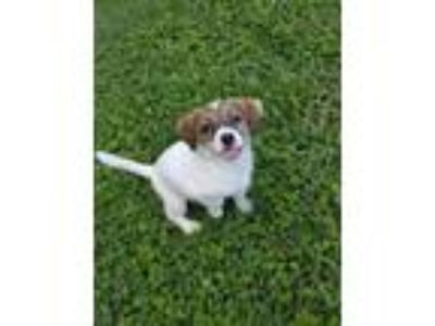 Adopt Moxie a Jack Russell Terrier, Terrier