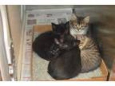 Adopt Selene a Brown or Chocolate Domestic Mediumhair / Domestic Shorthair /