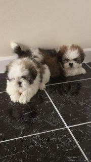 Adorable Shih Tzu puppies