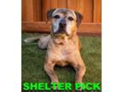Adopt Jelly a Pit Bull Terrier, Mixed Breed