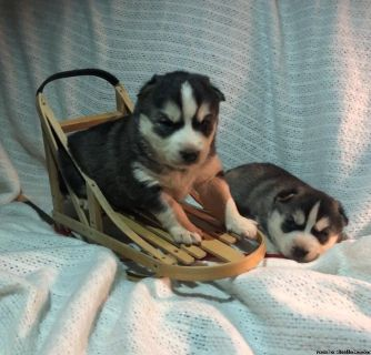 Siberian Husky Babies
