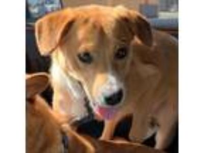 Adopt Levi a Tan/Yellow/Fawn Golden Retriever / Australian Shepherd dog in San