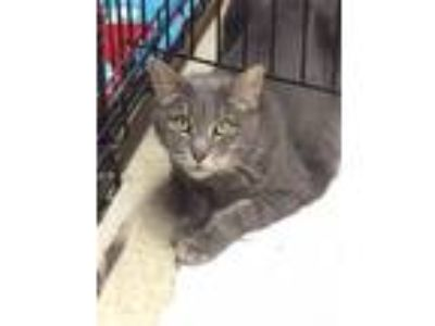 Adopt Tammy a Gray or Blue (Mostly) Domestic Shorthair (short coat) cat in