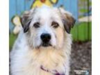 Adopt James - In Foster a Wirehaired Terrier, Terrier