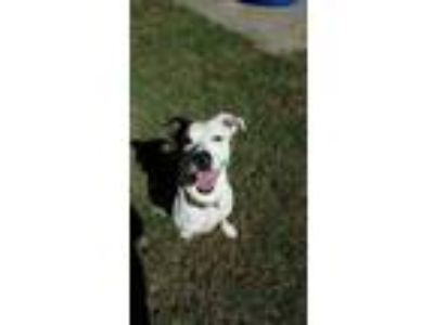 Adopt Paisley a Tricolor (Tan/Brown & Black & White) Boxer / Mixed dog in