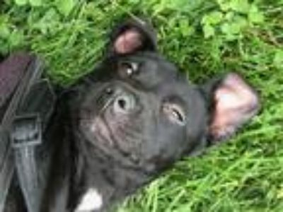 Adopt Mist a Black - with White Labrador Retriever / Mixed dog in Forest Hill
