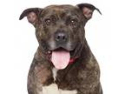 Adopt Chris a Brindle American Pit Bull Terrier / Mixed dog in Los Angeles