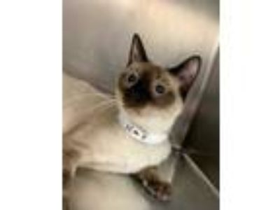 Adopt Mama Claire a Brown or Chocolate Siamese / Domestic Shorthair / Mixed cat