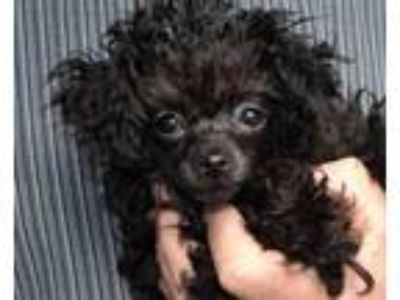 Adopt PEGGY SUE a Poodle