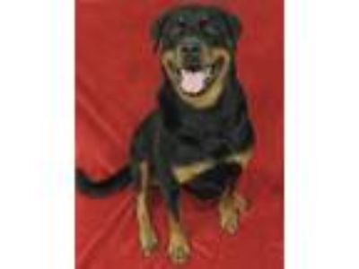 Adopt Zoey-Spayed a Rottweiler
