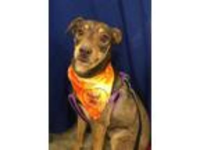 Adopt Sam a Miniature Pinscher
