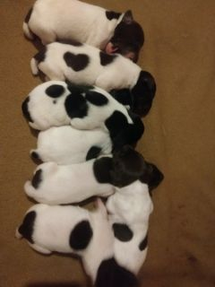 German Shorthaired Pointer PUPPY FOR SALE ADN-105286 - GSP German Shorthaired Pointer puppies