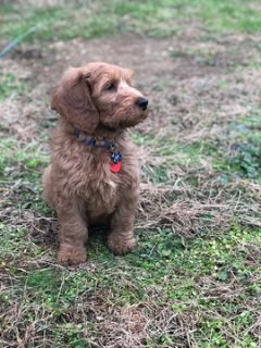 Goldendoodle PUPPY FOR SALE ADN-108578 - Mini Goldendoodle