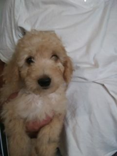 Goldendoodle (Miniature) PUPPY FOR SALE ADN-84570 - MINI GOLDENDOODLE PUPPIES toy to med size