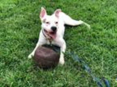 Adopt Odin a Tricolor (Tan/Brown & Black & White) American Pit Bull Terrier dog