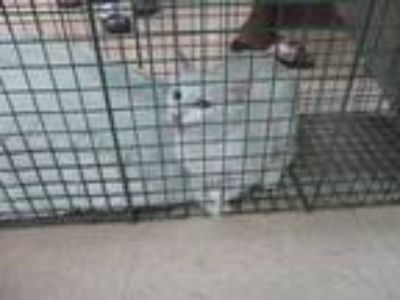 Adopt BARN CAT a White Domestic Shorthair / Mixed (short coat) cat in Killeen