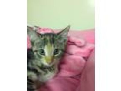 Adopt Valentine a Tiger Striped Domestic Shorthair (short coat) cat in Forest