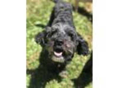 Adopt Hudson a Black Poodle (Miniature) / Cocker Spaniel / Mixed dog in San