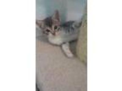 Adopt Skittles a Domestic Shorthair / Mixed cat in Bauxite, AR (25299874)