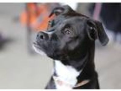 Adopt Hank a Black Pug / Labrador Retriever / Mixed dog in Minneapolis