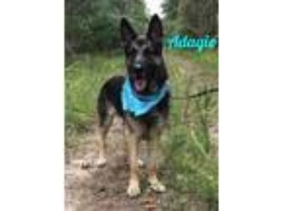 Adopt Adagio a German Shepherd Dog