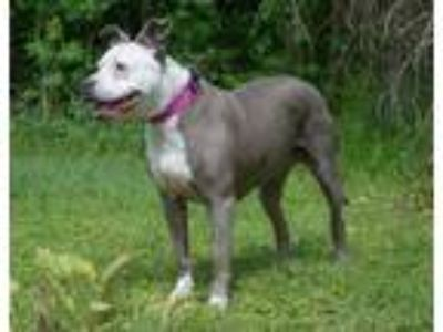 Adopt KASSI a Pit Bull Terrier