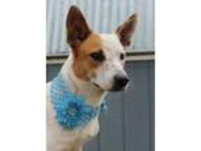 Adopt Destiny JH a White Jack Russell Terrier / Mixed dog in Von Ormy